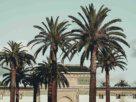 palm trees in casablanca